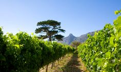 #Steenberg South Africa, Vineyard, Cape, Outdoor, Mantle, Cabo, Outdoors, Vineyard Vines, Outdoor Games