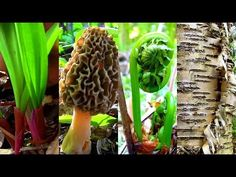 YourProduceGuy shows you how to make a Morel Mushroom Habitat. Morel Mushrooms are a delicacy that people will go out into the woods to hunt for. Wild Ramps, Ostrich Fern, Perennial Vegetables, Growing Mushrooms, Uses For Coffee Grounds, Permaculture Design, Mushroom Fungi, Wild Edibles, Edible Plants