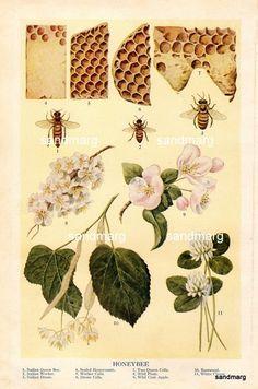 1909 Antique Chart of Honeybee Queen Bee Workers Drones Cells and Plants to Frame
