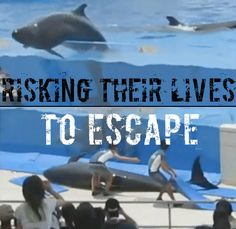 Suicide Attempts From intentionally flinging themselves out of their tanks to swallowing inedible stones, many dolphins and orcas have decided a life in a tank is a life not worth living. There have been many records of captive cetacean suicide attempts. If this isn't an absolutely determinate sign these animals don't belong in confined spaces, what is?