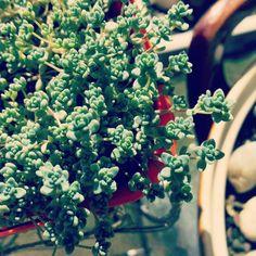Sedum Brevifolia in Nashville mood #filter #succulents #succulent #sedum #sedumbrevifolia #cute #Godscreation #Godisgreat by yantirambitan