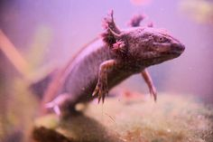 Axoloti are on endangered species list. They're not pets.