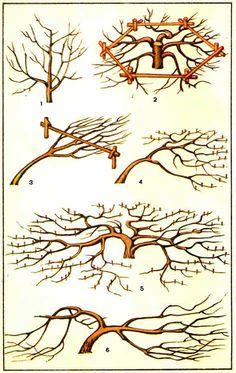 Стелющиеся формы кроны