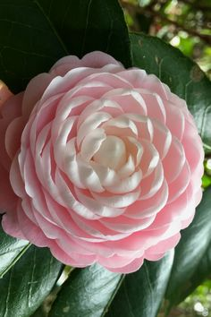 A true heritage plant and favorite of southern gardeners, Pink Perfection Camellia is perhaps the most well-known Camellia japonica available. Exotic Flowers, Amazing Flowers, Pink Flowers, Beautiful Flowers, Yellow Roses, Pink Roses, Camellia Plant, Heirloom Roses, Flower Wallpaper