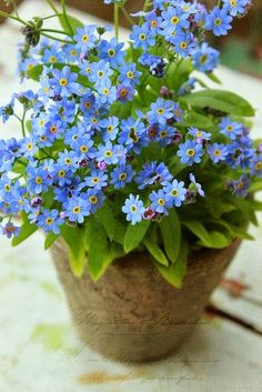 Forget me not, pretty blue flowers, lovely in any garden Blue Garden, Shade Garden, Dream Garden, Garden Plants, Decoration Plante, Forget Me Not, Garden Inspiration, Dahlia, Beautiful Gardens