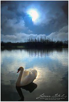 Cisne a la luz de la luna ...