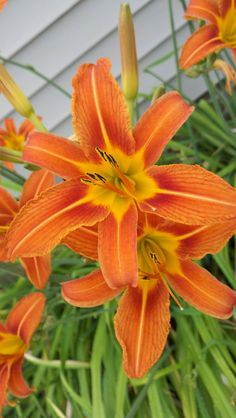 Beautiful orange Daylilies,  previously mislabeled as tiger lilies.