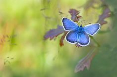Heideblauwtje.jpg