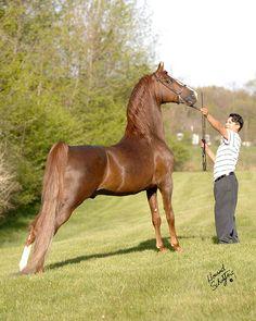 Morgan horse Minion Millennium