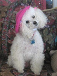 When only a French beret will do for a French poodle... Fifi Poodle in Paradise