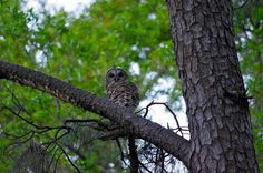 Owl in our backyard.
