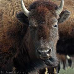 Tell the Montana Governor to Veto Anti-Bison Legislation