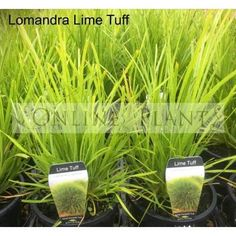 It is a compact selection of Lomandra and one of our favorite landscape grasses at online plants. This plant is extremely hardy and tolerates frost and drought conditions. Yellow Flowers, Pretty Plants, Plants, Grasses Landscaping, Green Landscape, Green Plants, Flower Spike, Lomandra, Shade Plants
