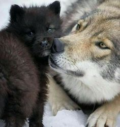 Adult wolf checking out cub