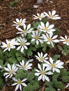 Sanguinaria canadensis, bloodroot, is a perennial, herbaceous flowering plant native to eastern North America. It is the only species in the genus Sanguinaria, included in the family Papaveraceae
