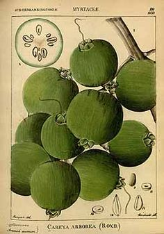 Wight, R., Illustrations of Indian botany