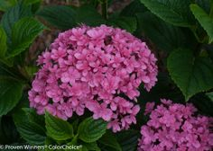 Paraplu hydrangea, new this year. Sweet double flowers look like candy! http://emfl.us/1fId