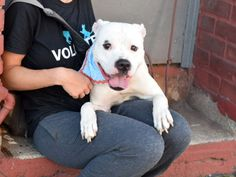 Brooklyn Center ANGEL – A1086176  MALE, WHITE / BLACK, AMERICAN STAFF MIX, 2 yrs, 2 mos OWNER SUR – EVALUATE, NO HOLD Reason MOVE2PRIVA Intake condition EXAM REQ Intake Date 08/19/2016, From NY 11209, DueOut Date 08/19/2016