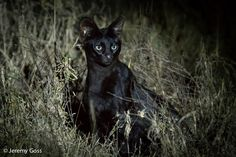 Rare black serval. When a serval meets a melanistic friend - Africa Geographic Blog
