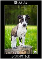 ADOPT ME!! Dot is an adoptable Australian Cattle Dog (Blue Heeler) Dog in Amory, MS. Dot is a female Australian Shepherd/Blue Heeler Mix. She is a very smart little girl. If you are interested in Dot please cont...