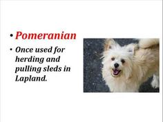 Pomeranian Facts - Top facts and Info about these dogs