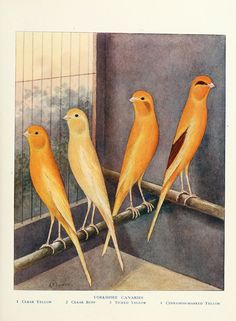 Yorkshire Canaries   Cassell's Canaries & Cage-birds 1884