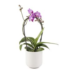 Mini Fountain Orchid
