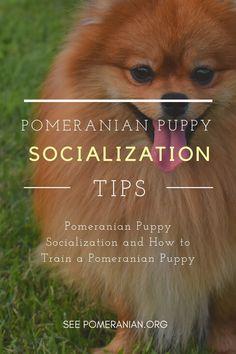 Pomeranian Puppy Socialization Tips. #dochlaggie #pomeranian Pomeranian Puppy For Sale, Puppies For Sale, Puppy Socialization, Dog Information, Pomeranians, Dog Care Tips, Pet Life, Girl Stuff, Adorable Animals