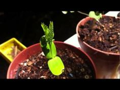 Garden Vocabulary: Cotyledon (Seed Leaf) | A Gardener's Notebook with Douglas E. Welch