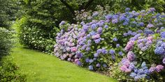 Hydrangea are a beautiful detail to add to your country garden.