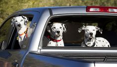 happy hoilday dalmatians | Recent Photos The Commons Getty Collection Galleries World Map App ..
