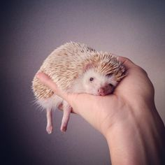 The Cutest Hedgehog On Instagram
