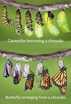 Biology: butterfly transformation from caterpillar to chrysalis to butterfly Stages Of A Butterfly, Butterfly Life Cycle, Butterfly Photos, Butterfly Drawing, Butterfly Wings, Butterfly Metamorphosis, Monarch Butterfly Habitat, Butterfly Transformation, Butterfly Garden Plants