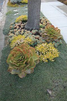 Beautiful succulents on space between sidewalk and street.  Low maintanance beauties!