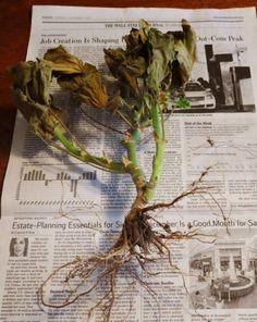 Зимовка пеларгоний без почвы. Пеларгония и сегодня остается самым популярным и ярким садовым горшечным. Эта истинная королева балконов и подоконников станет не менее роскошным украшением сада. Растение, часто ошибочно называемое геранью, в отличие от настоящих садовых гераней выдержать даже лёгкий мороз не сможет. Поклонники пеларгоний, собирающие целые коллекции сортов с разными окрасками, неизбежно сталкиваются с проблемой размещения растений в комнатах на зиму.  Фото: © Susan's