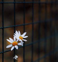 Πιο επικίνδυνη είναι η απόγνωση παρά η αμαρτία μας   Το σπιτάκι της Μέλιας Dandelion, Daisy, Fantasy, Plants, Beautiful, Flower Photography, Art Floral, Lovely Things, Sunflowers