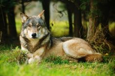 Torak at the UK Wolf Conservation Trust (UKWCT), Beenham, Reading.