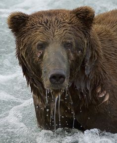 Katmai bear, #603, beautiful even with his scars.