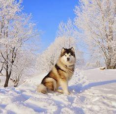 Beautiful Alaskan Malamute dog! The snowy background suits this beautiful dog perfectly! #beautiful #dog #PetPremium
