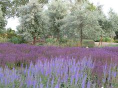 """Unterschiedliche Salbeiarten z.B. Salvia nemorosa 'Ostfriesland' und """"Mainacht"""" - Steppen-Salbei nach der ersten Blüte zurückschnitten, dann blüht er im Spätsommer nochmal nach."""