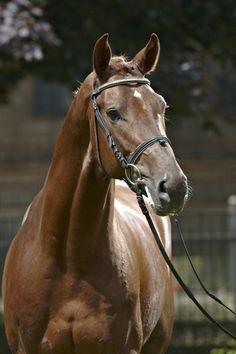 Dutch Warmblood stallion Vitalis