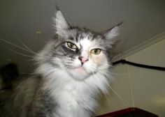 Badu is an adoptable Ragdoll Cat in Defiance, OH. Badu is beautiful. She has a black/silver coat with lots of shimmery silver tones to it. Her left cheek has a little dash of calico markings. She's re...