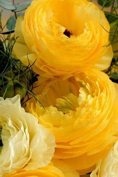 Beautiful yellow Ranunculus