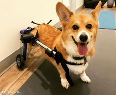 Miles is so excited about his new wheelchair!!! We can't wait to see him outside and running. @pawrehab