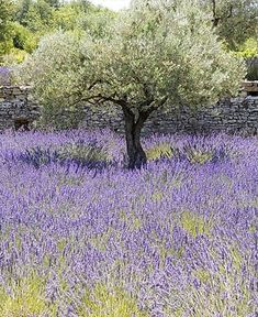 olive tree with lavender.....I'm home