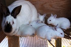 Breeding Rabbits - lots of useful information about the rabbit breeding process!