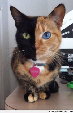 Meet Venus, the Chimera cat with two faces