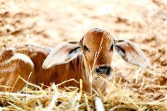 Brahman Calf..I WANT ONEE!!!
