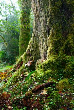 https://flic.kr/p/3DutWm   Rain Forest   Rain Forest, Olympic National Park, Washington