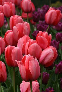 Spring Tulip Garden - Scotland